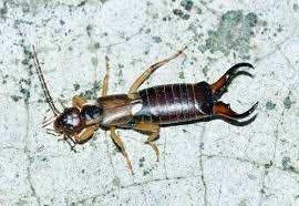 Small Black Bug In Bathroom Earwigs Facts U2013 Interesting Facts