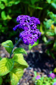 Shrub With Fragrant Purple Flowers - grow these 10 fragrant flowers for a heavenly smelling garden