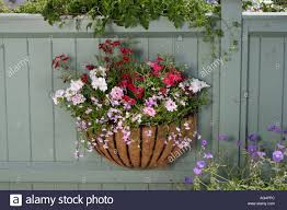 hanging wall or fence basket with geraniums stock photo royalty