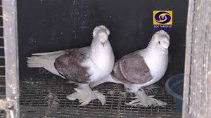 kerala fancy pigeon farm in palakad subhash2015 2016