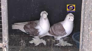 kerala fancy pigeon farm in palakad subhash2015 2016