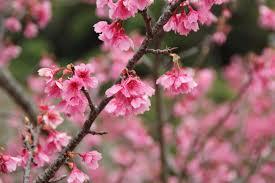 Flowering Cherry Shrub - free images tree branch fruit leaf petal food produce