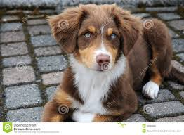 australian shepherd spaniel mix 55 adorable australian shepherd dog images and pictures