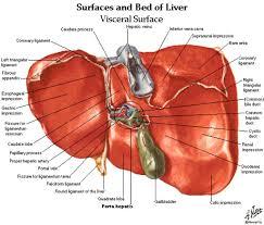 Anatomy Human Abdomen Human Spleen Anatomy Gallery Learn Human Anatomy Image