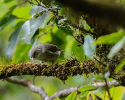 which food plant was native to the old world what u0027s killing native birds in the mountain forests of kauai