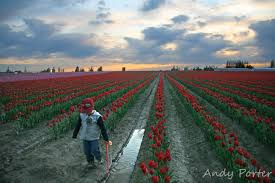 tulip festival tours skagit valley tulip festival