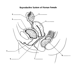Anatomy Of The Female Reproductive System Pictures Reproductive System Of Female Proprofs Quiz
