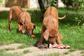 switching to a raw food diet for dogs things to consider