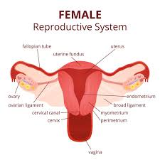 labeled diagram of the female reproductive system and its functioning