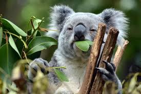 10 facts about koalas almanac surfnetkids