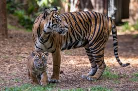 endangered sumatran tiger cubs debut zoonooz