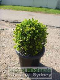 native plant nursery terrey hills buxus balls japanese box 300mm pot sale box hedge budget