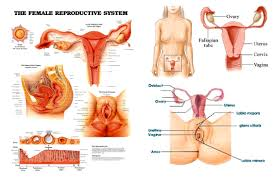 female reproductive system side view anatomy structure