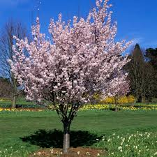 flowering cherry prunus pandora bare root tree lead the