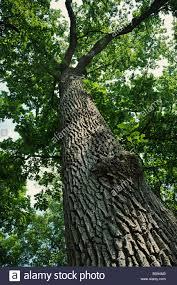 White Oak Tree Bark Looking Up A Tall Oak Tree With Bark Detail Stock Photo Royalty