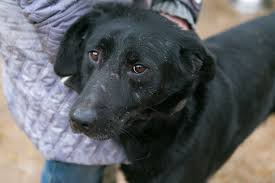of the salivary gland in dogs symptoms causes diagnosis