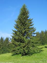 interesting facts about spruce trees just facts
