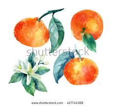 mandarins stock images royalty free images u0026 vectors shutterstock