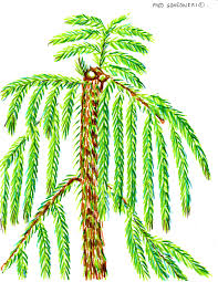 norfolk island pine an easy plant to control its height fred