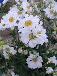 anemone plant anemone whirlwind bluestone perennials