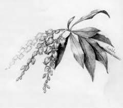 botanical pencil sketches