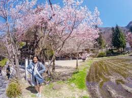 budget guide and itinerary cherry blossom season in central japan