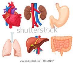 Human Anatomy Liver And Kidneys Liver Stock Images Royalty Free Images U0026 Vectors Shutterstock