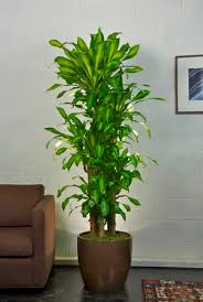 Low Light Indoor Trees 31 Best Our Plant Selection Images On Pinterest Indoor Plant