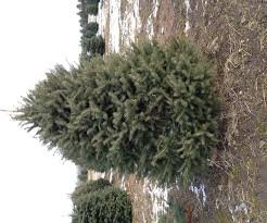 Menards Christmas Trees White by Fresh Christmas Trees At Menards Best Images Collections Hd For
