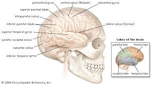 What Is The Main Function Of The Medulla Oblongata Hindbrain Anatomy Britannica Com