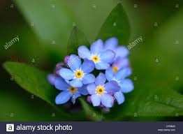 forget me not myosotis scorpioides cluster of small blue flowers