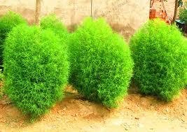 blue grass seeds perennial 105pcs grass burning bush kochia