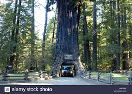 Chandelier Tree California Chandelier Tree Leggett Valley California Usa Stock Photo 2850238