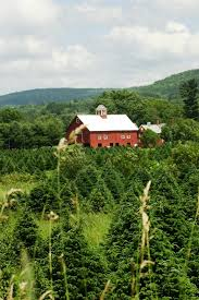 christmas christmas tree farms near me memphis meriden ct for