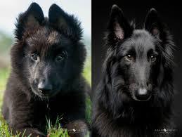 belgian shepherd kinds belgian shepherd groenendael dog funny puppy u0026 dog pictures