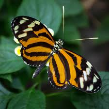 look it s another tiger wing butterfly pacific science center