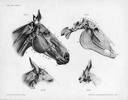 Anatomy And Physiology Online Quizzes Horse Anatomy Quiz All The Pretty Horses