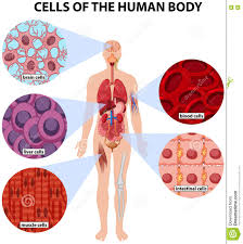 human anatomy cells gallery human anatomy learning