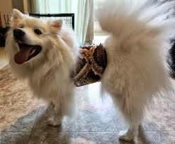 american eskimo dog brown ruckus the eskie american eskimo workin u0027 like a dog redenvelope