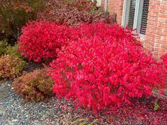 All Year Flowering Shrubs - with careful planning and design you could have your shrubs