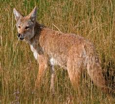 Coyote In My Backyard Aces Publications The Coyote Facts And Myths About Living With