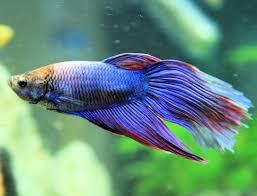 lifespans of different aquarium fish