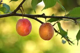 cuisiner le fruit de l arbre à fond d écran aliments les plantes macro branche fruit pêche