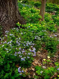 native virginia plants your native woodland if you build it they will come carolyn u0027s