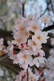 cherry blossom wiktionary