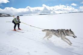 skiing with australian shepherd the best winter dog sport ever skijoring american kennel club