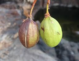 native plants to australia adaptation for survival of plants