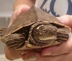 map turtle creature feature false map turtle reptiles alive
