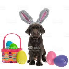 chocolate bunny ears chocolate labrador puppy wearing fuzzy bunny ears with easter