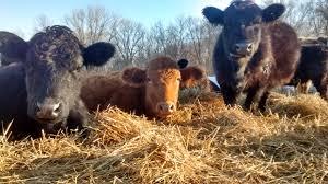 in defense of the cow finn meadows farm